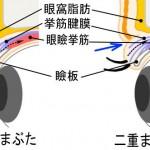 一重瞼と二重瞼の違い